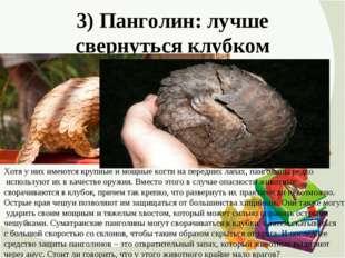 3) Панголин: лучше свернуться клубком Хотя у них имеются крупные и мощные ког
