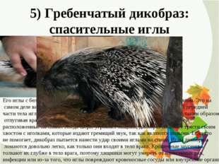 5) Гребенчатый дикобраз: спасительные иглы Его иглы с белыми и черными полоск