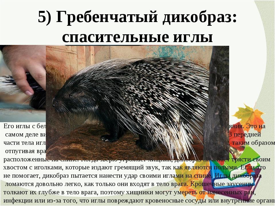 5) Гребенчатый дикобраз: спасительные иглы Его иглы с белыми и черными полоск...