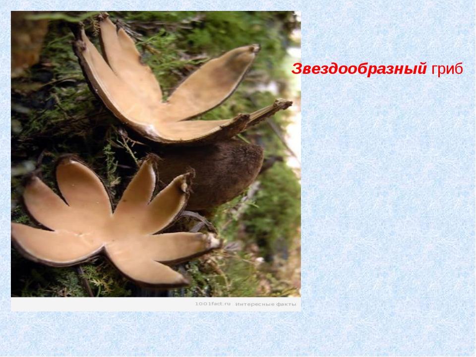 Звездообразный гриб