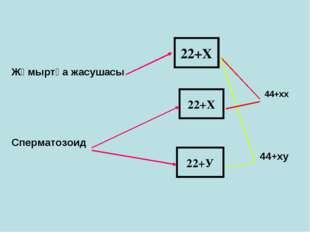 Жұмыртқа жасушасы  44+хх Сперматозоид 44+х