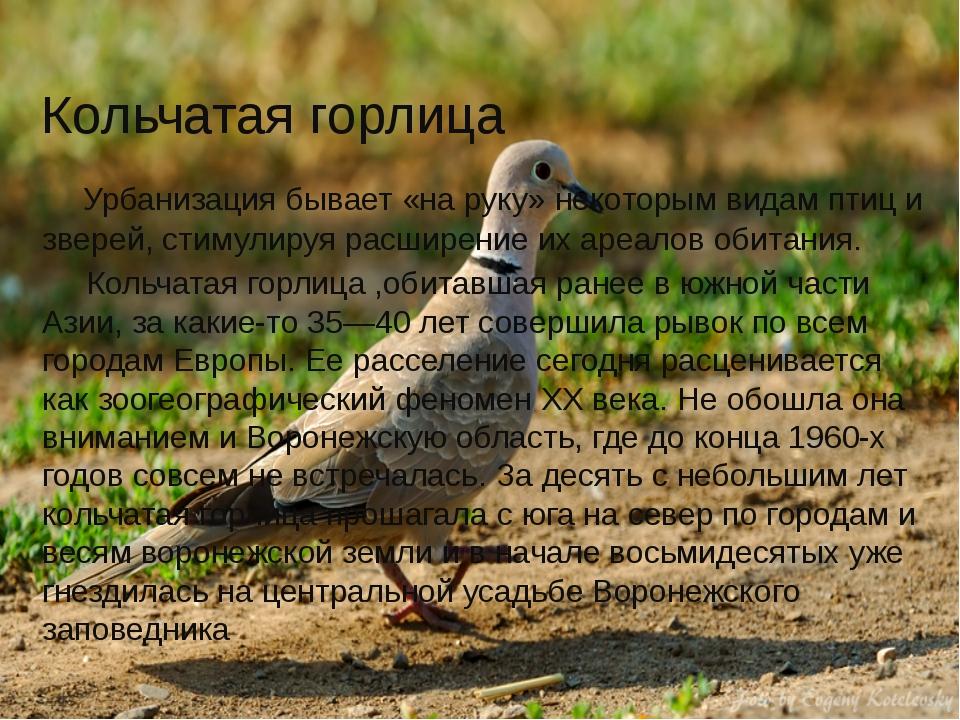 Кольчатая горлица Урбанизация бывает «на руку» некоторым видам птиц и зверей,...