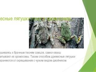 Древесные лягушки поют о хромосомах… Прислушиваясь к брачным песням самцов, с