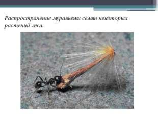 Распространение муравьями семян некоторых растений леса.