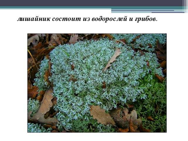 лишайник состоит из водорослей и грибов.