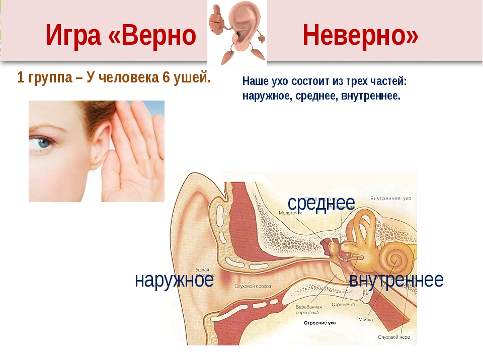 Наше ухо состоит из трех частей: наружное, среднее, внутреннее. 1 группа – У...