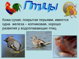 Кожа сухая, покрытая перьями, имеется одна железа – копчиковая, хорошо развит
