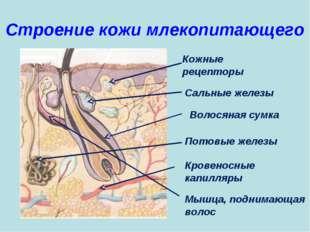 Строение кожи млекопитающего Кожные рецепторы Мышца, поднимающая волос Кровен