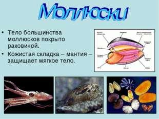 Тело большинства моллюсков покрыто раковиной. Кожистая складка – мантия – защ