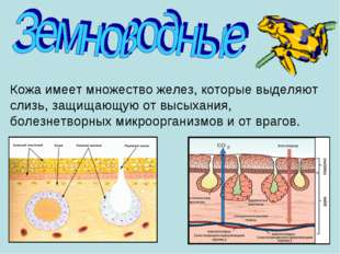 Кожа имеет множество желез, которые выделяют слизь, защищающую от высыхания,