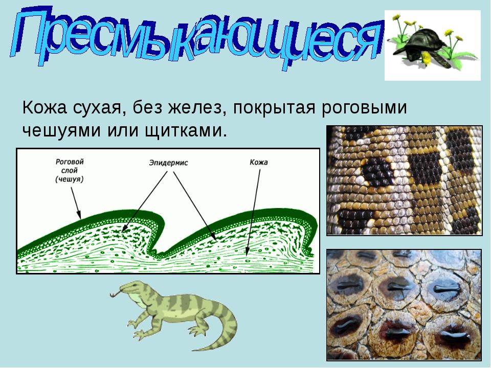 Кожа сухая, без желез, покрытая роговыми чешуями или щитками.