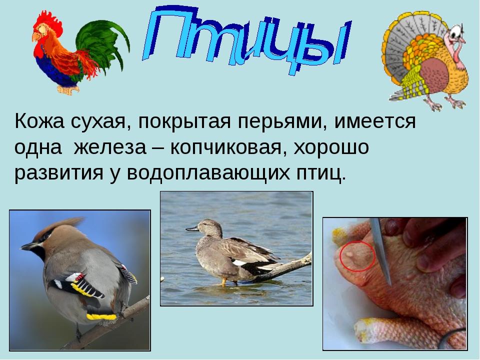 Кожа сухая, покрытая перьями, имеется одна железа – копчиковая, хорошо развит...