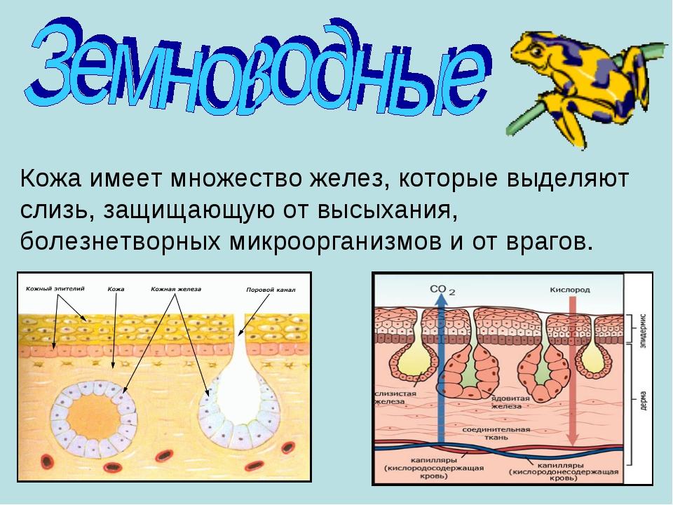Кожа имеет множество желез, которые выделяют слизь, защищающую от высыхания,...