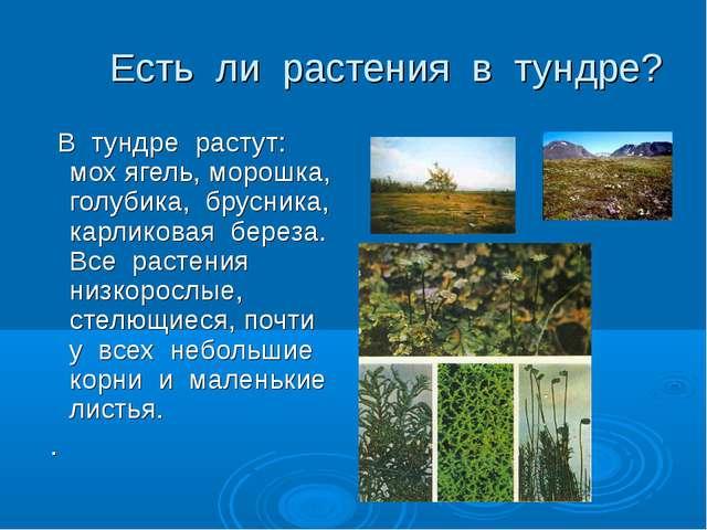 Есть ли растения в тундре? В тундре растут: мох ягель, морошка, голубика, бр...