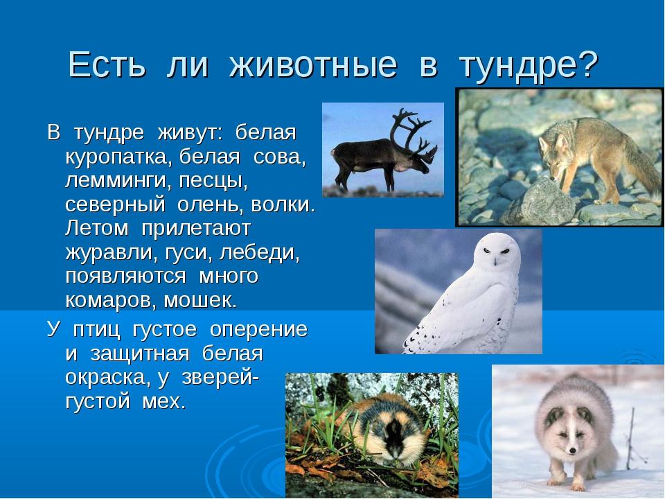 Есть ли животные в тундре? В тундре живут: белая куропатка, белая сова, лемми...