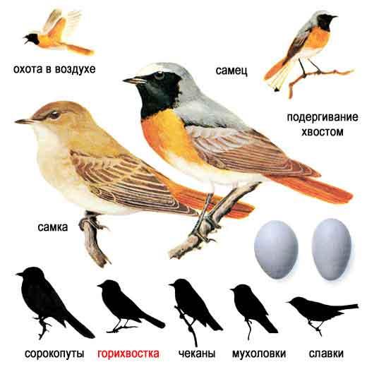 http://www.ecosystema.ru/08nature/birds/146.jpg
