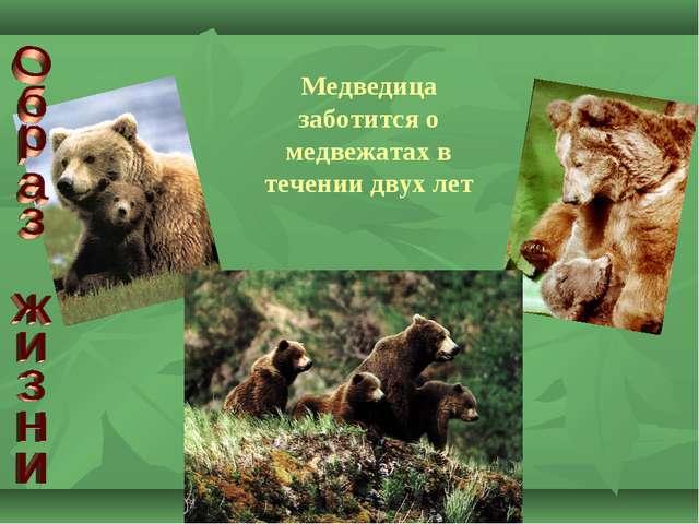 Медведица заботится о медвежатах в течении двух лет