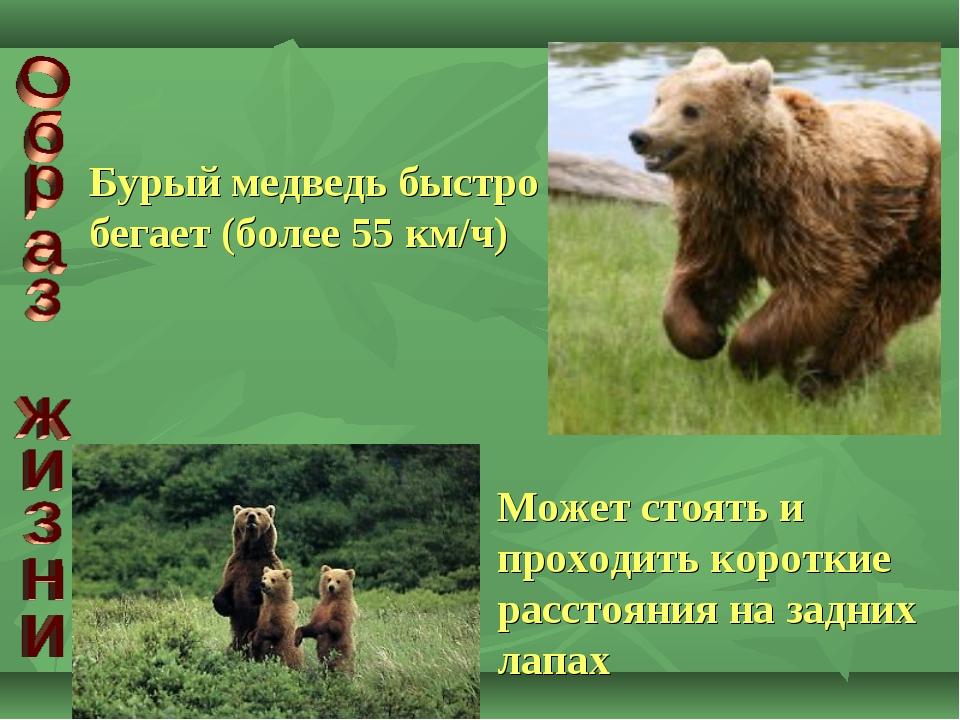 Бурый медведь быстро бегает (более 55 км/ч) Может стоять и проходить короткие...