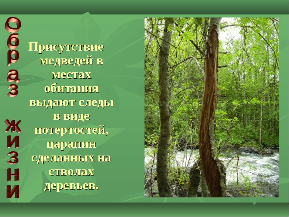 Присутствие медведей в местах обитания выдают следы в виде потертостей, царап...