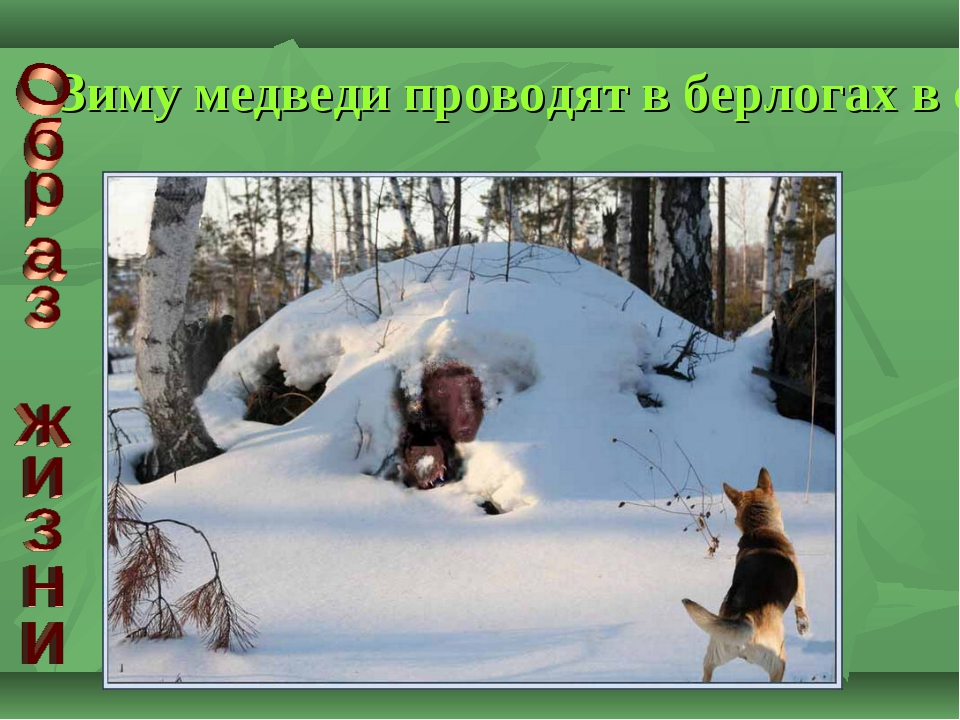 Зиму медведи проводят в берлогах в состоянии сна