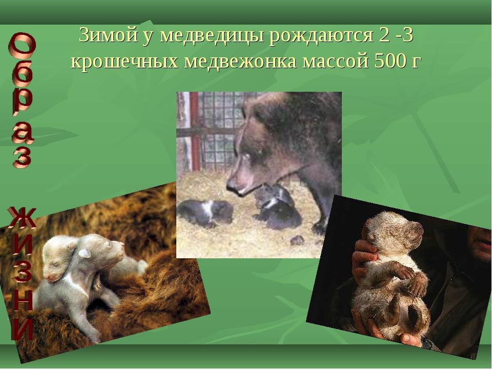 Зимой у медведицы рождаются 2 -3 крошечных медвежонка массой 500 г
