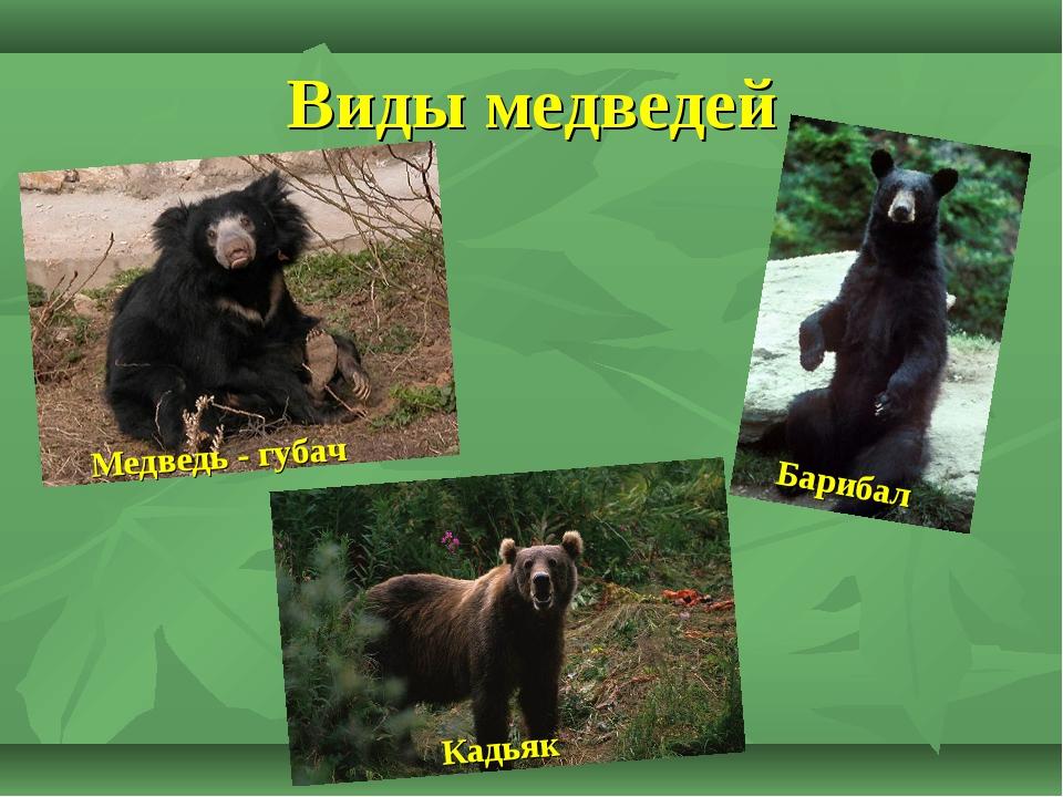 Виды медведей Медведь - губач Кадьяк Барибал
