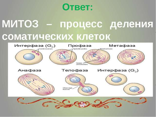 Ответ: МИТОЗ – процесс деления соматических клеток