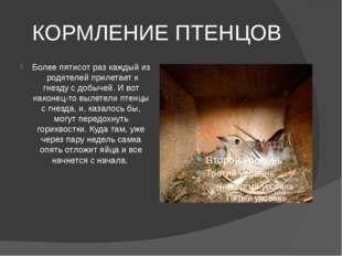 КОРМЛЕНИЕ ПТЕНЦОВ Более пятисот раз каждый из родителей прилетает к гнезду с