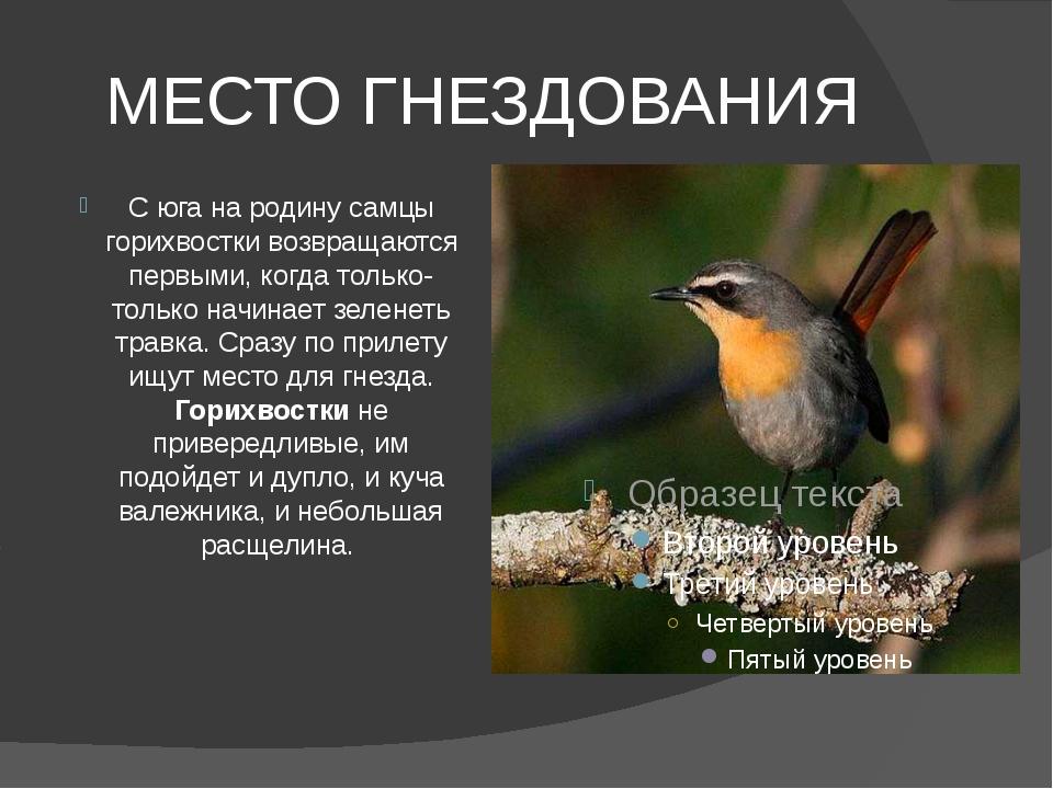 МЕСТО ГНЕЗДОВАНИЯ С юга на родину самцы горихвостки возвращаются первыми, ког...