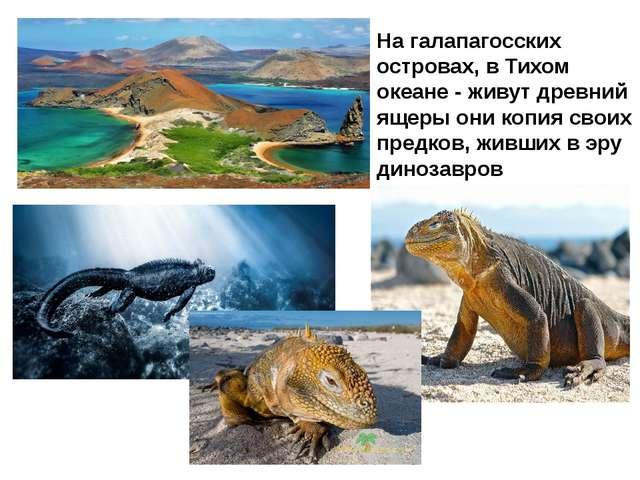 На галапагосских островах, в Тихом океане - живут древний ящеры они копия сво...