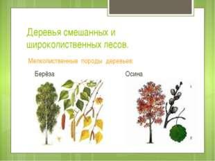Деревья смешанных и широколиственных лесов. Мелколиственные породы деревьев: