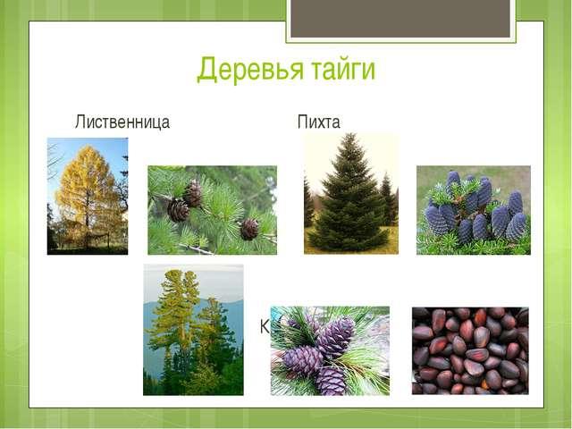 Деревья тайги Лиственница Пихта Кедр