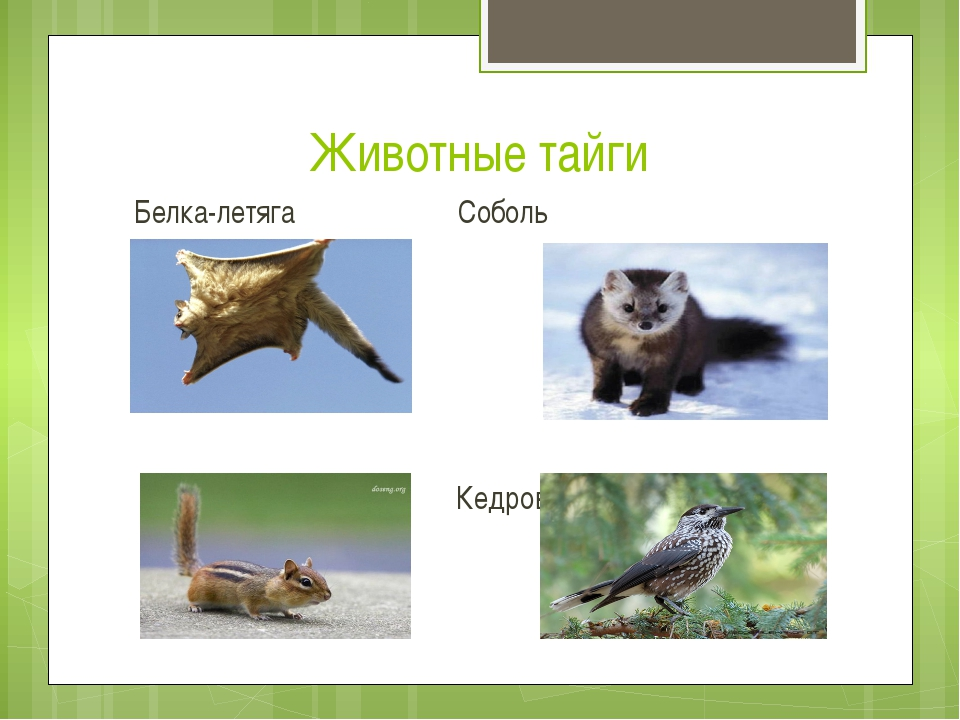 Животные тайги Белка-летяга Соболь Бурундук Кедровка