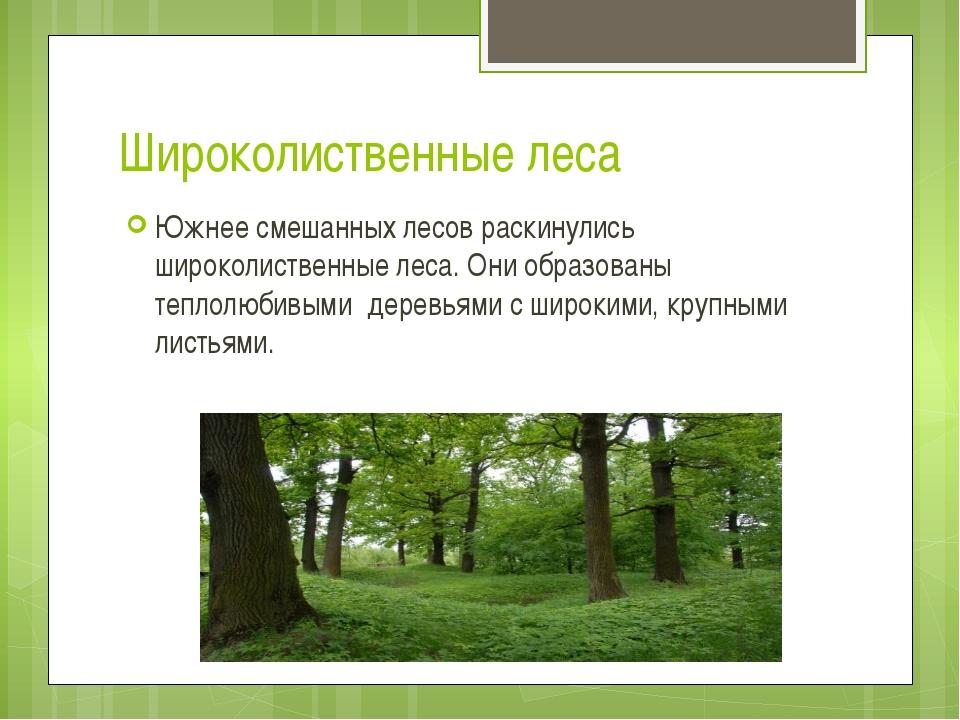 Широколиственные леса Южнее смешанных лесов раскинулись широколиственные леса...