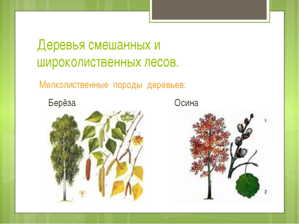 Деревья смешанных и широколиственных лесов. Мелколиственные породы деревьев:...