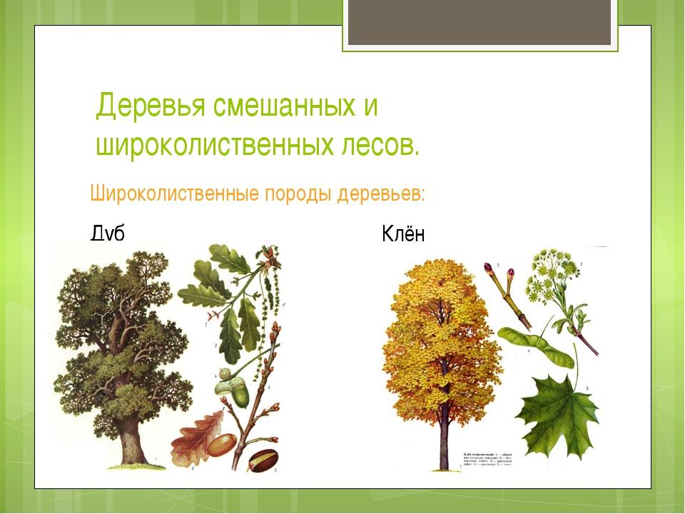 Деревья смешанных и широколиственных лесов. Широколиственные породы деревьев:...