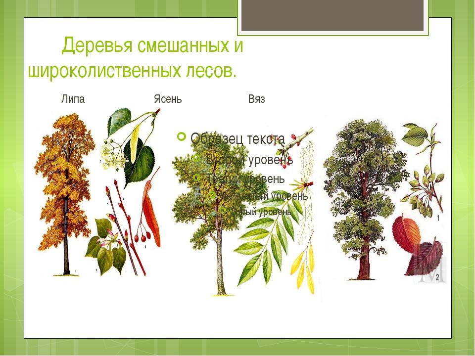 Деревья смешанных и широколиственных лесов. Липа Ясень Вяз