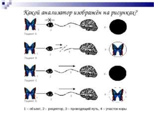 Какой анализатор изображён на рисунках? 1 – объект, 2 - рецептор, 3 – провод