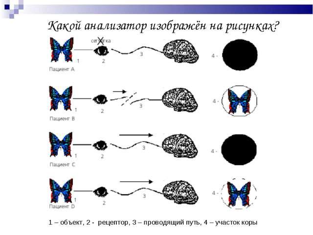 Какой анализатор изображён на рисунках? 1 – объект, 2 - рецептор, 3 – провод...