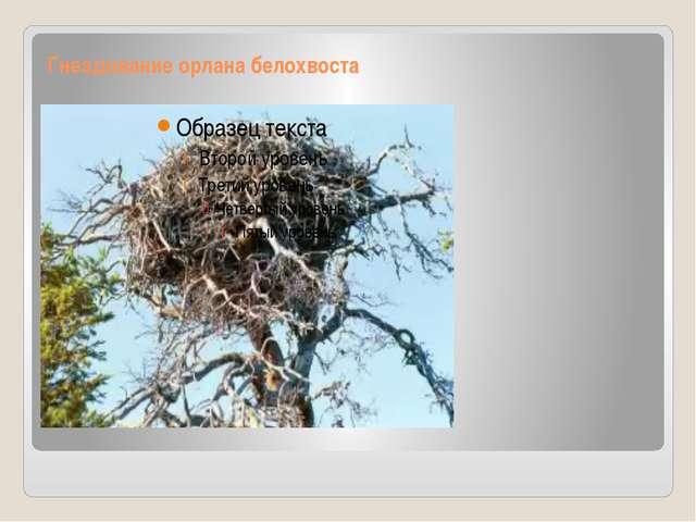 Гнездование орлана белохвоста