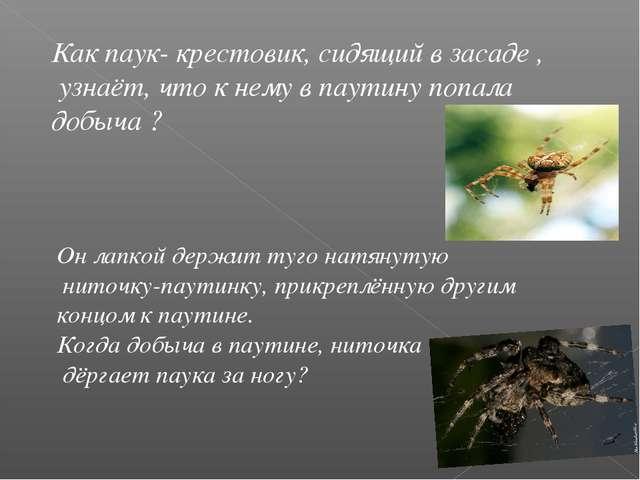 Как паук- крестовик, сидящий в засаде , узнаёт, что к нему в паутину попала д...
