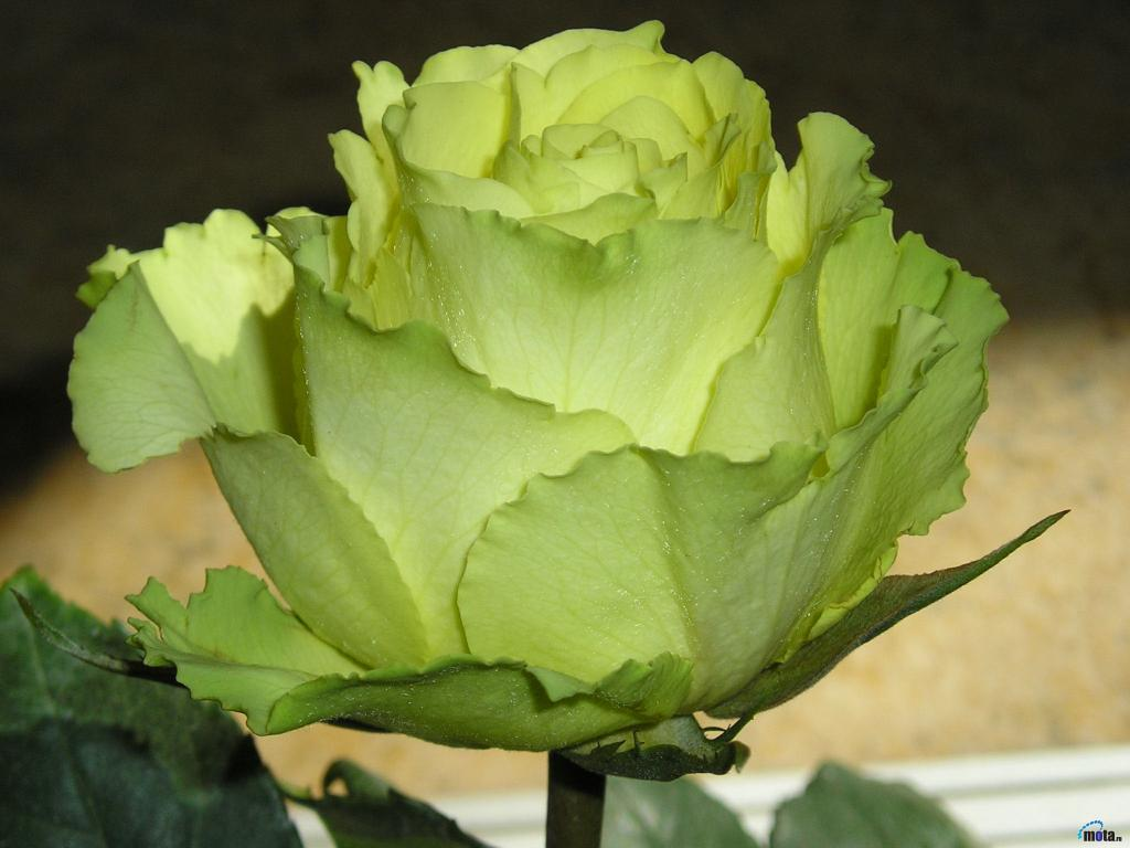 Роза цветок фото