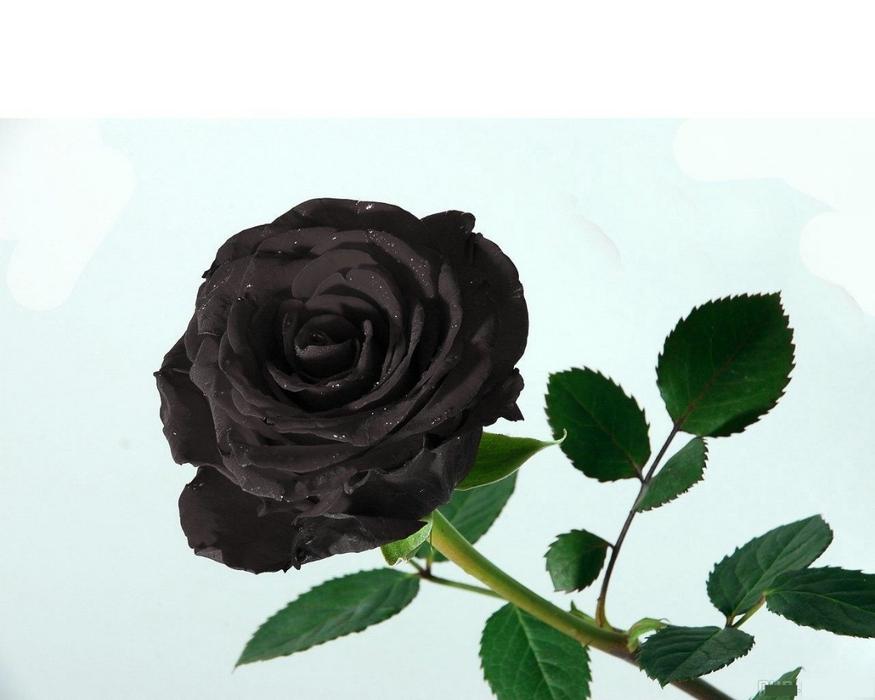 Обои Розы Цветы Фото 37141