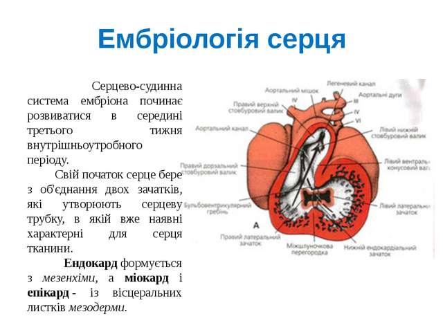 Ембріологія серця Серцево-судинна система ембріона починає розвиватися в сере...