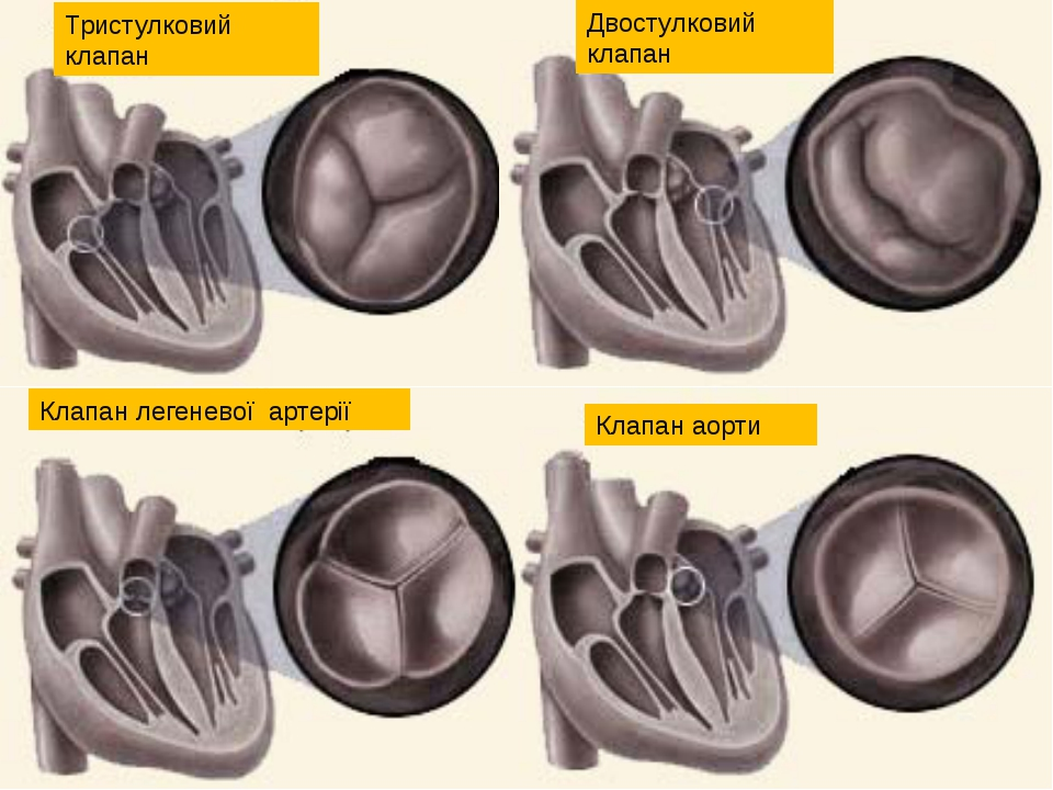 Клапан легеневої артерії Тристулковий клапан Двостулковий клапан Клапан аорти