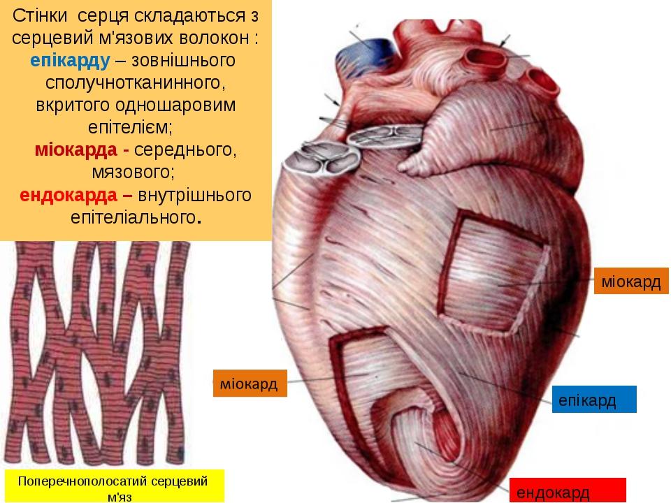 Стінки серця складаються з серцевий м'язових волокон : епікарду – зовнішнього...