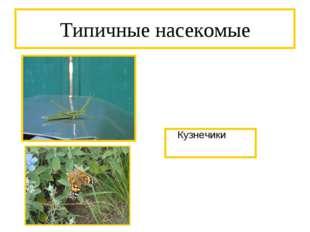 Типичные насекомые Кузнечики