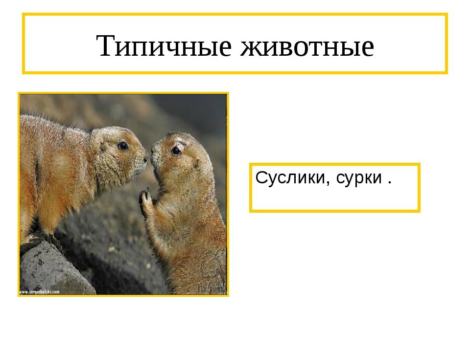 Типичные животные Суслики, сурки .