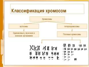 Классификация хромосом Хромосомы гетерохромосомы аутосомы Одинаковые у мужски