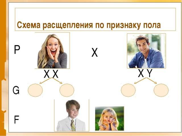 Схема расщепления по признаку пола X X X Y P X G F